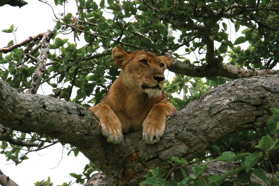 Tree Lions in Queen Elizabeth National park, Uganda