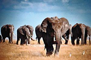 Kenya Great Wildlife Safari Elephants