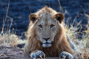 Lions of Kidepo Valley National Park, Savanna Wildlife Safari