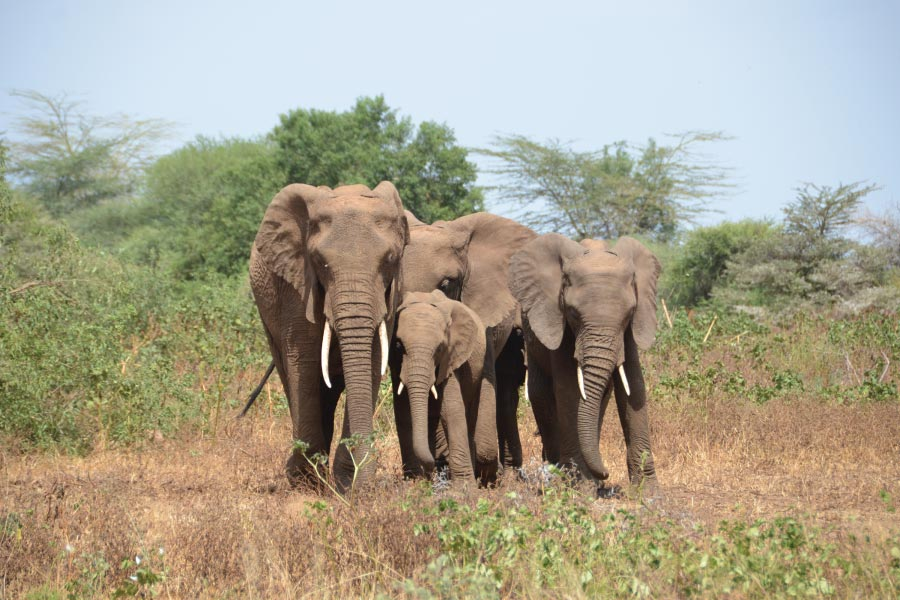 Lake Manyara Elephants