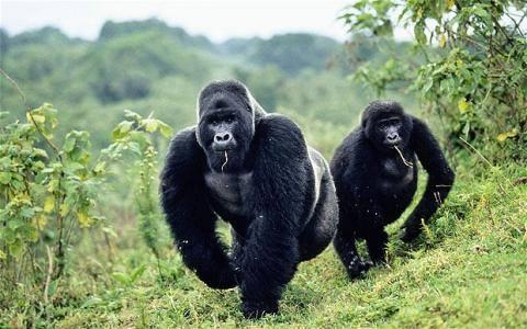 gorilla trekking permits, discounted gorilla permits, chimp permits