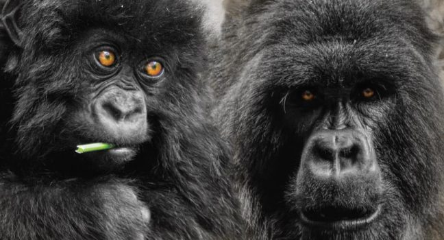 Rwanda Gorilla Tracking Safari - Rwanda Safari - Volcanoes National Park