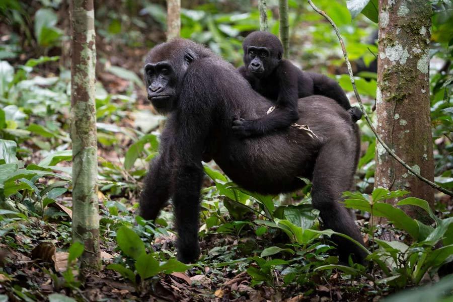 Congo Lowland Gorillas Safari