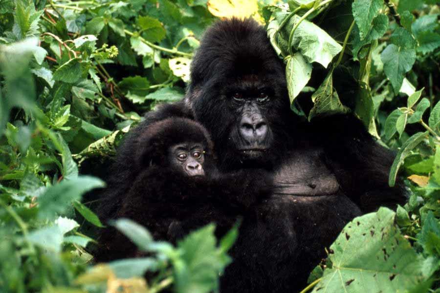Rwanda & Uganda Chimp Gorilla Tour