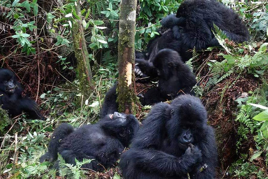 Gorilla Tracking Bwindi NP