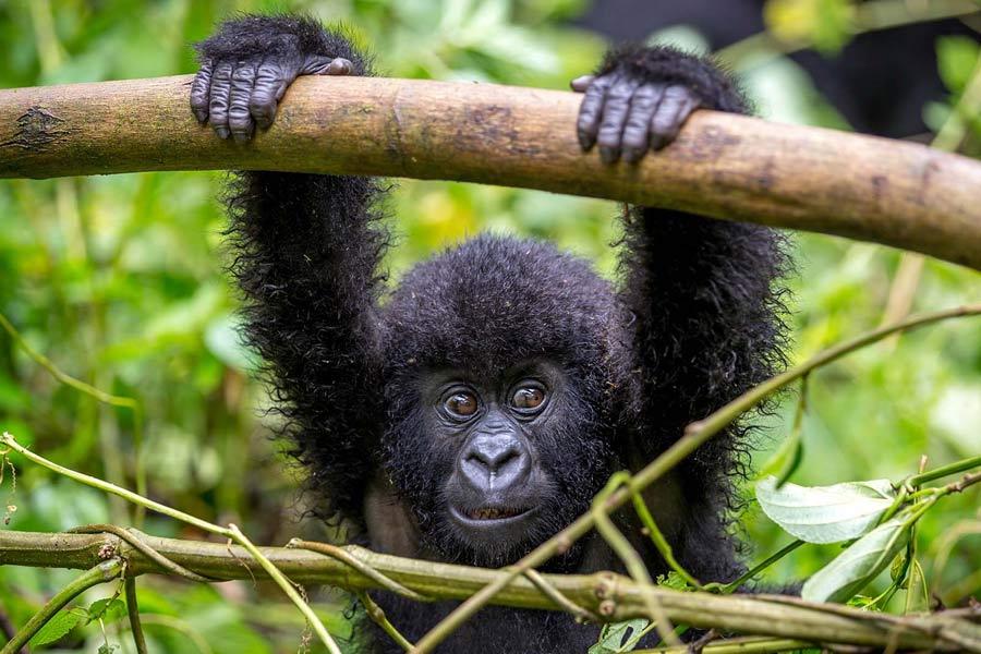 Bwindi Impenetrable Gorilla Trekking