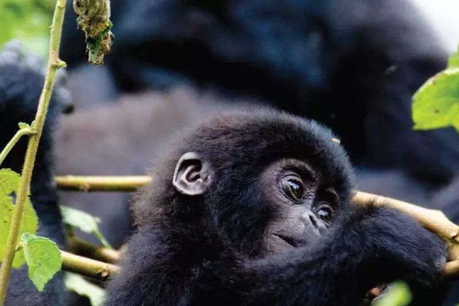 Bwindi Gorilla Trek Queen Elizabeth Safari
