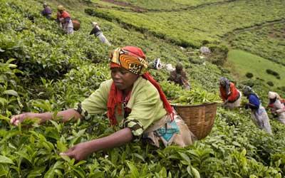 Coffee Paradise In Rwanda