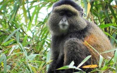 Primate Tracking In Rwanda